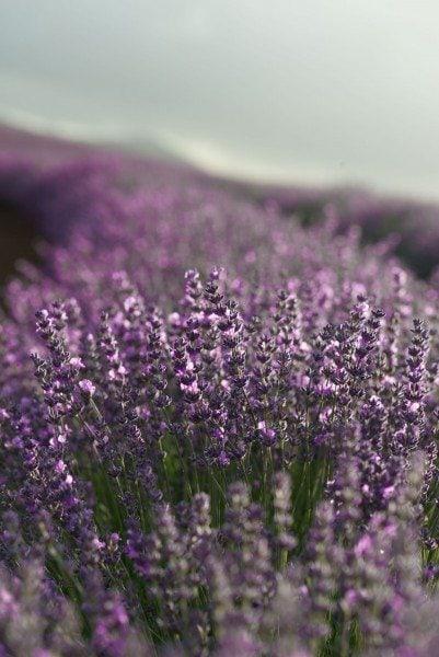 Lavender closeup- photocredit Ockert Le Roux