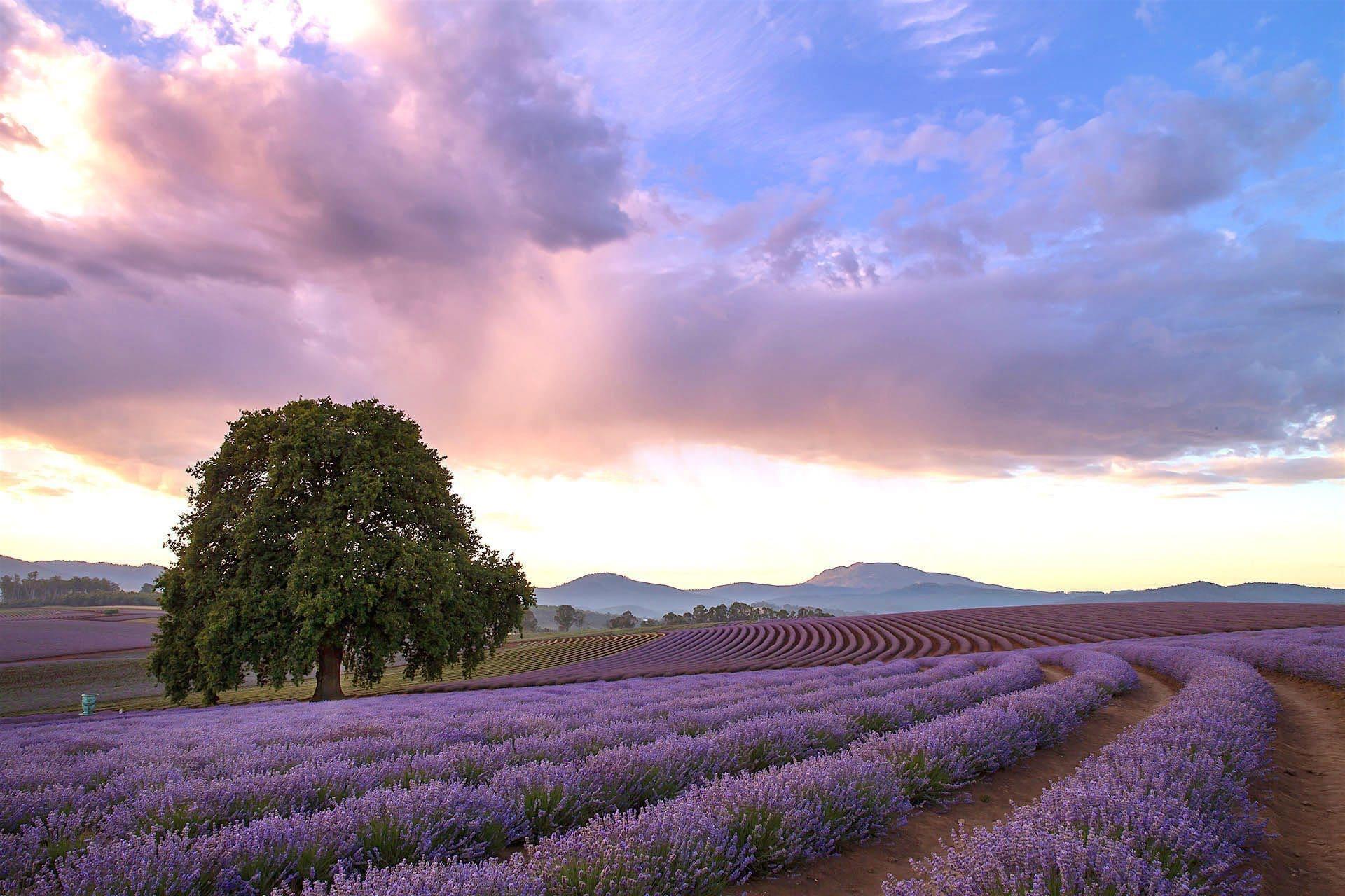 bridestowe-lavender-banner-502A6717
