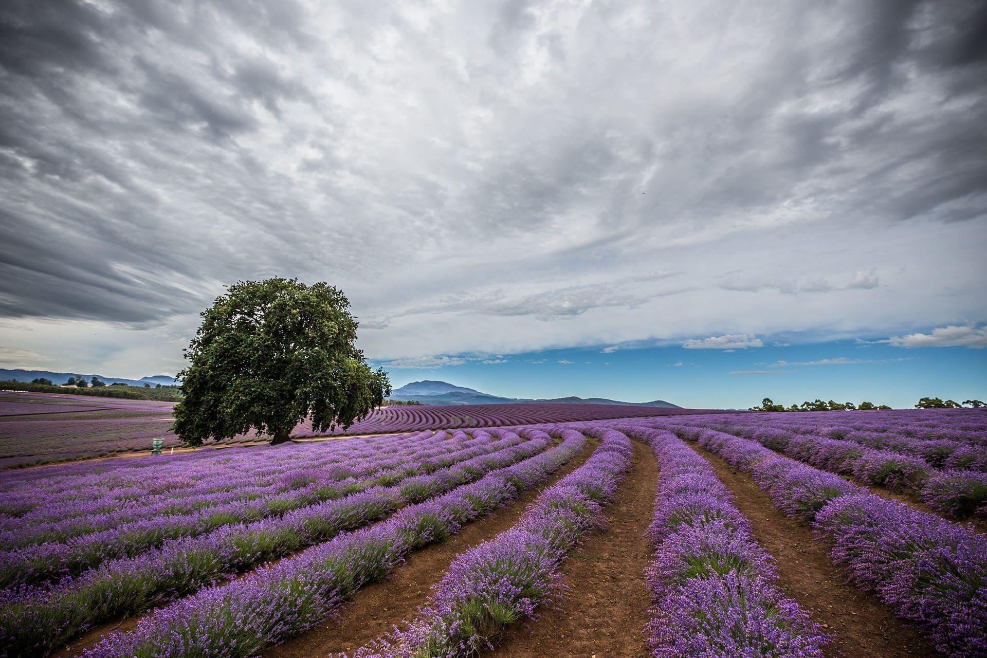 bridestowe-lavender-banner-Matt-Glastonbury-Bridestowe-16