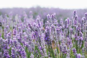 A western honey bee on the blooming lavender at Bridestowe Estate.