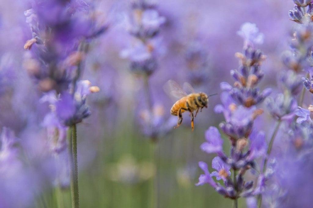 bridestowe-lavender-banner-Matt-Glastonbury-Bees at Bridestowe