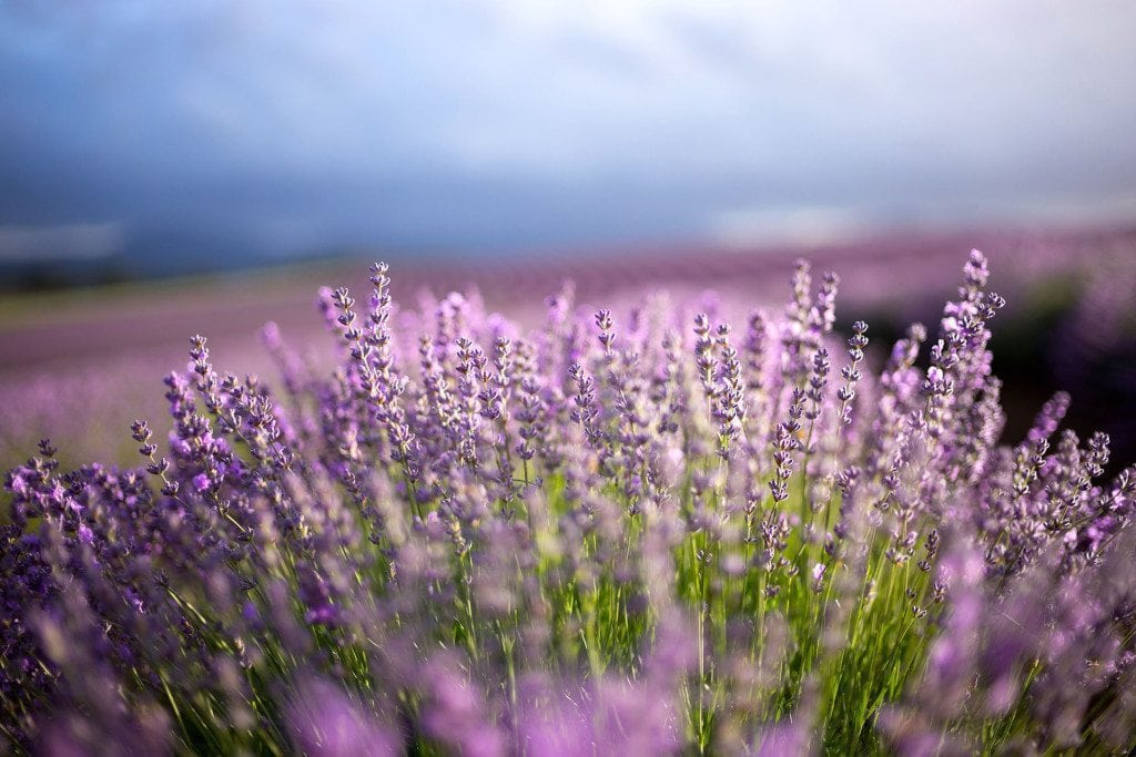 bridestowe-lavender-banner-close flowers - photo credit Ockert le Roux 2014