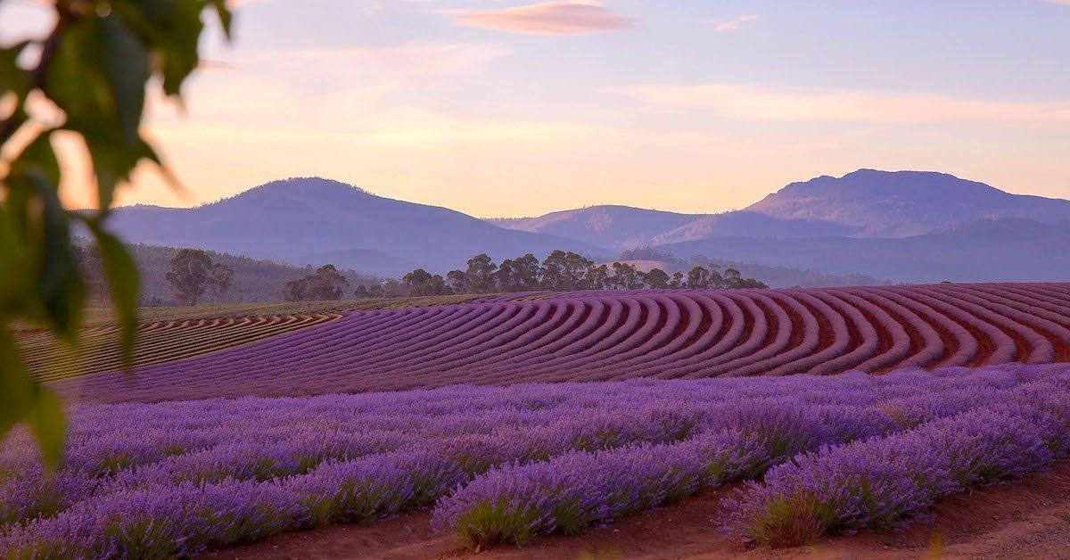 Lavender Lady Farm Tours
