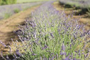 Well developed lavender buds at Bridestowe Estate.