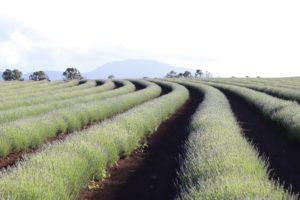 Contoured rows of lavender facing Mount Arthur.
