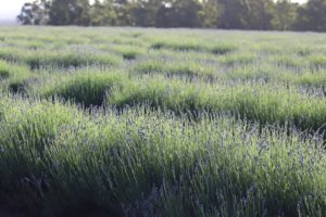 Rows of young lavender plants at Bridestowe Estate
