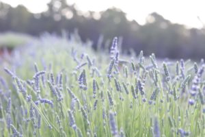 lavender buds in the field